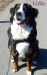 Nellie - Berner sennenhund