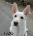 Nellie - Vit herdehund