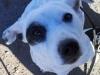 Splendid - Jack Russell Terrier