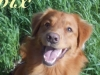 Twix - Nova Scotia Duck Tolling Retriever