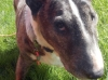 Gullan - Bullterrier