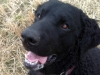 Kasper - Curly coated retriever