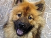 Sam - Eurasier